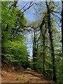 SX3777 : Track in woodland above the Inny by Derek Harper