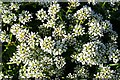 NJ6465 : Common Scurvygrass (Cochlearia officinalis) by Anne Burgess