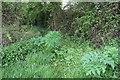 SO8435 : Giant Hogweed rising by Bob Embleton