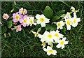 NJ5443 : Primrose (Primula vulgaris) by Anne Burgess