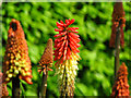 D3807 : Red Hot Poker, Carnfunnock Country Park by Rossographer