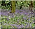 SO8577 : Bluebells in Hurcott Wood by Mat Fascione