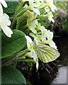 NX7798 : Green-veined white (Pieris napi) by Walter Baxter