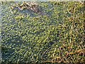 NY2558 : Sphagnum moss in bog pool by Rose and Trev Clough