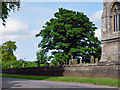 SE9645 : A sycamore in the churchyard by Peter Church