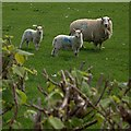 SN8795 : Sheep at Pennant Isaf by Rudi Winter