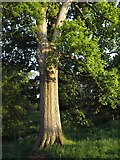 SX8963 : Oak, Cockington by Derek Harper