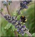 SX9262 : Bee on Viper's Bugloss by Derek Harper