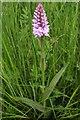 SO7835 : Orchid in meadow by Rye Street by Bob Embleton