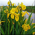 TF4901 : Yellow Flag Iris, Iris pseudacorus by Jonathan Billinger
