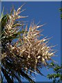SX9163 : New Zealand Cabbage Tree, Torquay seafront by Derek Harper