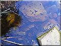 NR7388 : Tadpoles in a brackish pool by E Gammie