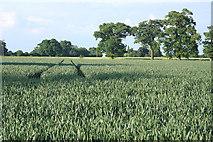 TL8063 : Wheat field at Little Saxham by Bob Jones