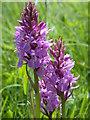 TL3847 : Southern Marsh Orchid (Dactylorhiza praetermissa) by Keith Edkins