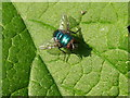 NU1228 : Greenbottle (Lucilia Caesar) family Calliphoridae by Alfie Tait