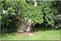 NO3524 : Balmerino Abbey Chestnut tree by stephen samson
