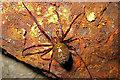 SD8967 : Malham Tarn: European cave spider Meta menardi by Martyn Gorman