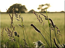 SM7525 : Grasses on the boundary wall by Ms Dixon