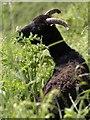 SX9152 : Sheep by South West Coast Path by Derek Harper