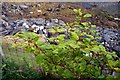 NG2149 : Japanese knotweed / Glùineach bhiorach (Fallopia japonica) by Tiger