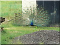 NS0762 : Peacock by william craig