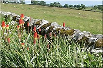 NZ0488 : Red hot pokers near Rothley by Graham Horn