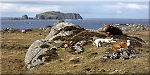 NB1340 : Cattle above Bosta beach by Julian Paren