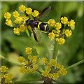 TL4758 : Hoverfly (Chrysotoxum bicinctum) on wild parsnip (Pastinaca sativa) by Keith Edkins