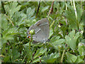 TL4259 : Purple Hairstreak (Neozephyrus quercus) by Keith Edkins