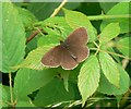 SO7677 : Female Ringlet butterfly at Hawkbatch by Mat Fascione