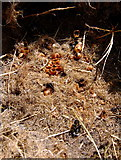 SN0729 : Remains of bumblebees' nest by ceridwen