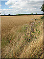 TG2225 : Ripening wheat by Evelyn Simak