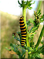 TF8545 : Cinnabar caterpillar (close-up) by Zorba the Geek
