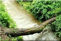 J4681 : Fallen tree, Crawfordsburn Glen (2) by Albert Bridge