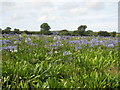 SW5033 : Field of agapanthus behind Ludgvan church by Rod Allday