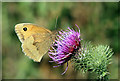 NT7277 : A meadow brown feeding on a thistle head by Walter Baxter