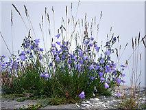 NU1341 : Lindisfarne Castle, flowers on the wall by Chris Gunns