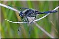 SD4583 : Black Darter - Sympetrum danae by Dave Green