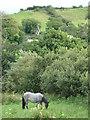 G8971 : Grey Horse in Mullanacross Field by louise price