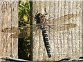 NS3778 : Common Hawker (Aeshna juncea) by Lairich Rig