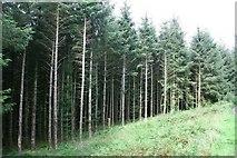 SH7140 : Pines Trees near Llan Ffestiniog by Jeff Buck