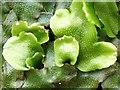 NS3878 : A liverwort - Conocephalum conicum by Lairich Rig