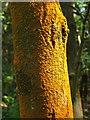 NS8281 : An alga (Trentepohlia) on a tree by Lairich Rig
