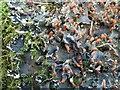 NS3985 : A lichen - Peltigera hymenina by Lairich Rig