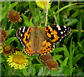 TF8745 : Painted Lady butterfly by Zorba the Geek