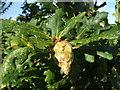 NS3878 : Artichoke gall on oak by Lairich Rig