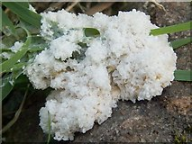 NS3878 : A slime mould - Mucilago crustacea by Lairich Rig