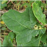 NS3977 : Leaf galls on oak by Lairich Rig