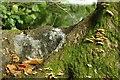 J4877 : Fungus, Clandeboye Wood (13) by Albert Bridge