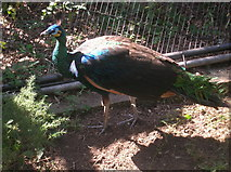 TQ2783 : Peacock at London Zoo in the Snowdon Aviary by Robin Sones